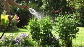 Женщина флориста в георгине платья моча цветет с инструментом спринклера спрейера руки в саде 4K видеоматериал