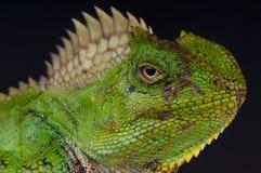 женщина хамелеона агамы Стоковое фото RF