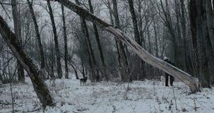 Женщина штрихуя собаку идя в парк зимы видеоматериал