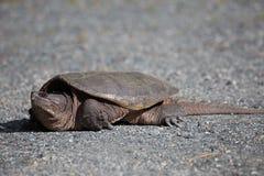 Женщина щелкая черепахи Стоковое Изображение RF