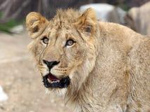 Женщина льва Стоковые Фотографии RF