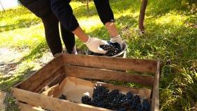 Женщина льет ведро виноградин акции видеоматериалы