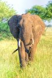 Женщина, africana Loxodonta африканского слона коровы Стоковые Изображения