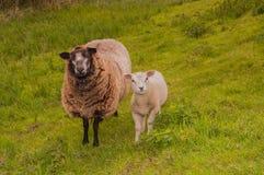 женщина dike ее овцы овечки staning Стоковое фото RF