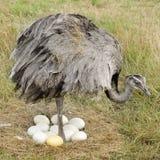 женщина emu Стоковые Изображения