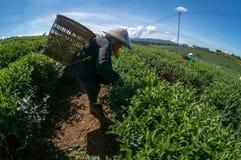 женщина havesting чай под солнечным светом в BaoLoc, они используя их hans Стоковое фото RF