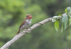 Женщина Kingfisher Стоковое Изображение