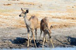 2 женщина Kudu выпивая от waterhole Стоковое фото RF