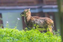 Женщина Moufflon ест траву в утре Стоковая Фотография