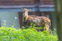 Женщина Moufflon ест траву в утре Стоковое Фото