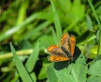 Женщина phlaeas- голубянок Стоковые Фотографии RF