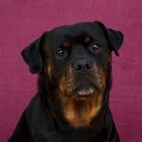 Женщина Rottweiler 7 лет стоковая фотография