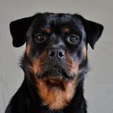 Женщина 1 Rottweiler Стоковая Фотография