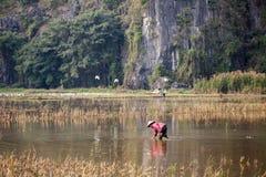 Женщины Вьетнама работали на поле риса к рису плантации в идти дождь сезон Стоковое Изображение