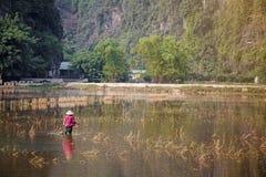 Женщины Вьетнама работали на поле риса к рису плантации в идти дождь сезон Стоковые Фотографии RF