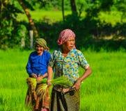 Женщины Вьетнама работая на поле риса Стоковое фото RF