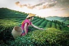 Женщины в местном племени холма держа молодой зеленый чай выходят на холм в вечер с лучем захода солнца на Градусе Фаренгейта Lua стоковая фотография