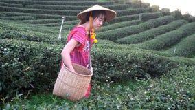 Женщины в местном племени холма держа молодой зеленый чай выходят на холм в вечер с лучем захода солнца сток-видео