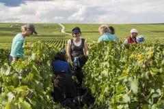 Женщины жать в Шампани в Verzy Стоковые Изображения RF