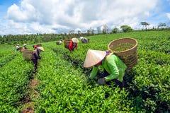 Женщины жать чай Стоковое фото RF