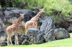2 женщины жирафа Стоковое Фото