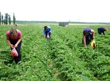 женщины клубники выбора ягод Стоковое Изображение
