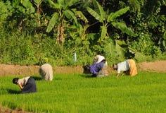 Женщины культивировали поле на острове Шри-Ланки Стоковое Фото