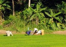 Женщины культивируют поле на острове Шри-Ланки Стоковая Фотография