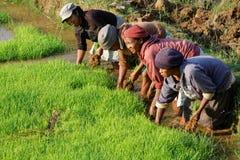 Женщины на работе в полях риса Стоковая Фотография