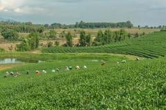 Женщины от Таиланда ломают листья чая на плантации чая Стоковые Изображения RF