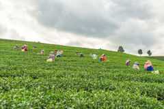 Женщины от Таиланда ломают листья чая на плантации чая Стоковые Фотографии RF
