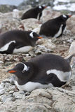 Женщины пингвина Gentoo сидя на гнездах Стоковые Фотографии RF