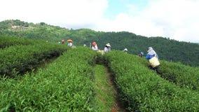 Женщины племени холма имеют корзину листьев чая на плантации чая видеоматериал