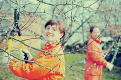 Женщины подрезая фруктовое дерев дерево стоковое фото