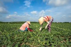 Женщины работая на поле арбуза Стоковое Изображение