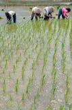 Женщины работая на поле 02 риса Стоковая Фотография RF