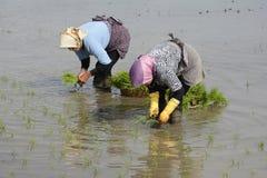 2 женщины работая на рисе обрабатывают землю для засаживать новые ростки thr риса Стоковое фото RF