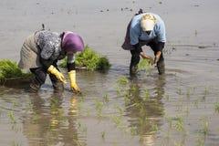 2 женщины работая на рисе обрабатывают землю для засаживать новые ростки thr риса Стоковые Изображения RF