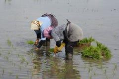 2 женщины работая на рисе обрабатывают землю для засаживать новые ростки thr риса Стоковое Изображение
