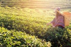 Женщины фермера работника Азии выбирали листья чая для традиций в утре восхода солнца на природе плантации чая Стоковая Фотография