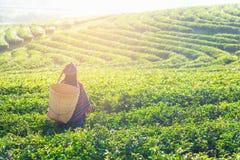 Женщины фермера работника Азии комплектовали листья чая для традиций в утре восхода солнца на природе плантации чая, Таиланде стоковые фотографии rf