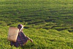 Женщины фермера работника Азии комплектовали листья чая для традиций в утре восхода солнца на природе плантации чая стоковые изображения