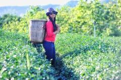 Женщины чая Азии выбирая листья чая в плантации Стоковое фото RF