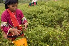 Женщины этнической группы Palong жать перцы чилей в полях Стоковая Фотография