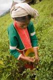 Женщины этнической группы Palong жать перцы чилей в полях Стоковые Изображения