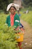 Женщины этнической группы Palong жать перцы чилей в полях Стоковое Изображение RF