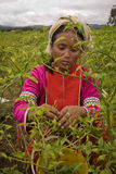 Женщины этнической группы Palong жать перцы чилей в полях Стоковое фото RF