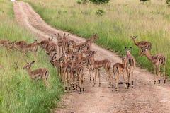 Женщины Calfs самеца оленя живой природы Стоковая Фотография