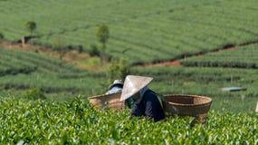 Женщины havest чай на ферме чая Стоковые Фотографии RF