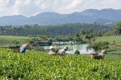 Женщины havest чай на ферме чая Стоковое Фото